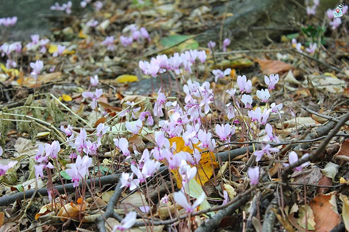 Samodivski cvetya